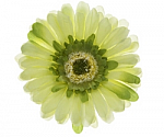 Pastel Green Gerber Daisy Flower Hair Clip